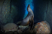 TW1751-D. California Sea Lion (Zalophus californianus) in a sea cave. Playful and curious, it followed the photographer for 30 minutes, posing one moment and gently chewing on the camera the next. Baja, Mexico, Sea of Cortez, Pacific Ocean.<br /> Photo Copyright &copy; Brandon Cole. All rights reserved worldwide.  www.brandoncole.com