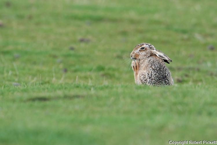 European or Brown Hare, Lepus eurupaeus, Elmely Nature Reserve, Kent UK, sitting on grassy marshland