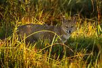 Pampas Fox (Lycalopex gymnocercus), Ibera Provincial Reserve, Ibera Wetlands, Argentina