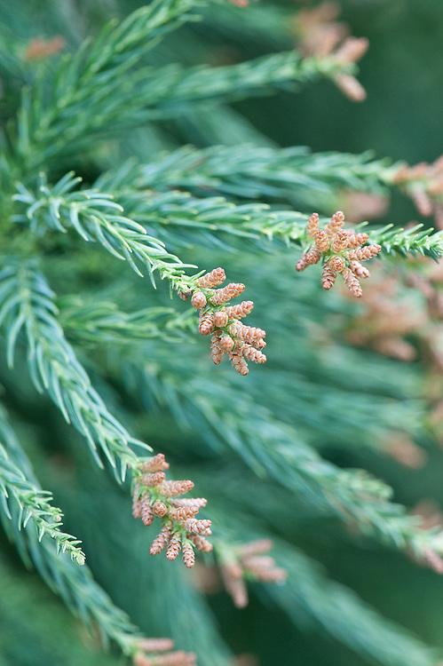Male flowers or catkins of Yoshino Japanese cedar (Cryptomeria japonica 'Yoshino'), mid March.