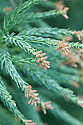 Male flowers or catkins of Yoshino Japanese cedar (Cryptomeria japonica 'Yoshino'), mid March.