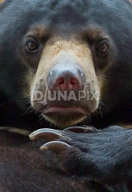 A portrait of a Malayan sun bear (Helarctos malayanus) at the Kalimantan Wildlife Education Center, near Balikpapan, shows fearsome claws.