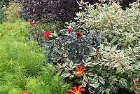 Amsonia hubrichtii with dark leafed Dahlia think Bishop of LLandoff, Hemerocallis 'Poinsettia' and Cornus alba 'Elegantissima'