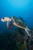 QZ0026-D. Loggerhead Sea Turtle (Cartetta caretta), large adult. Australia, Pacific Ocean. Photo Copyright © Brandon Cole. All rights reserved worldwide.  www.brandoncole.com