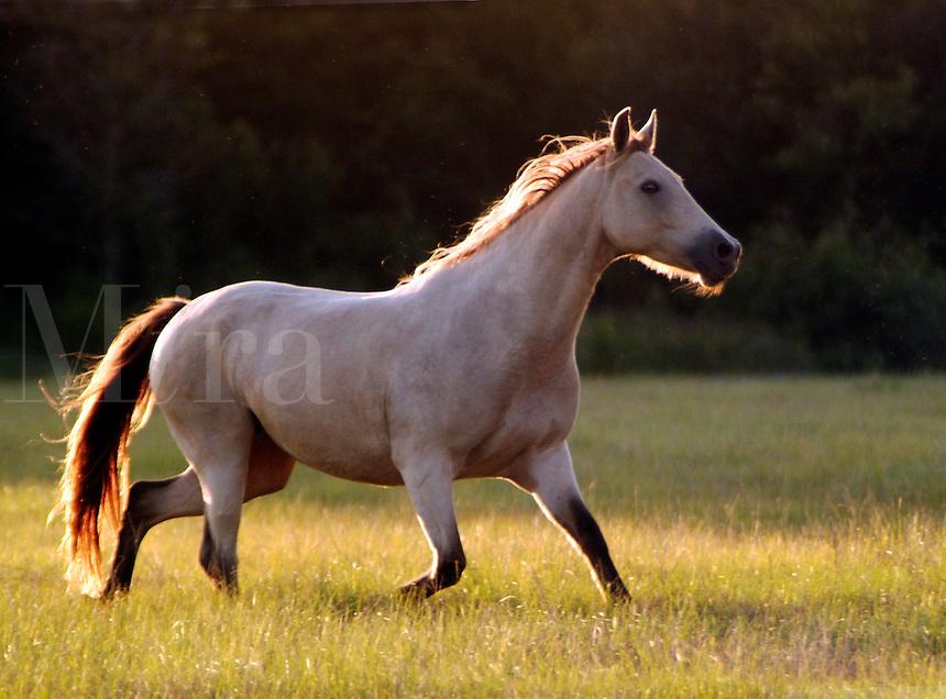 Champaign dun mare trots across open paddock.