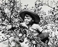 Boy picking apples in orchard. 1950's.