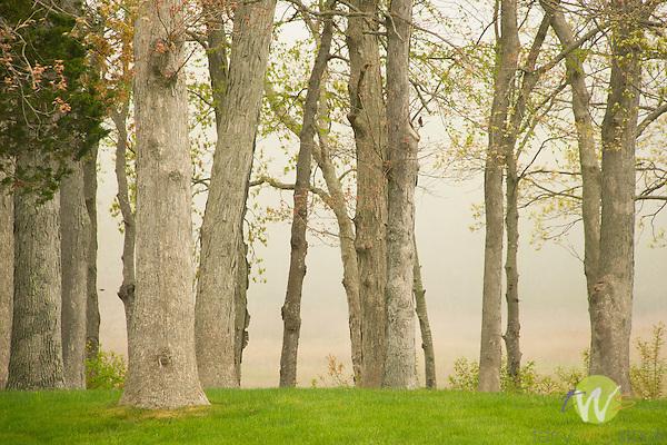 Tree grove with fog.
