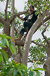 Timorese student Laca Ribeiro searches for lizards in a tree in the Liquica district of Timor-Leste (East Timor). He is participating in an ongoing survey of Timorese reptiles and amphibians.
