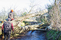 Saturday 10 January 2015<br /> Pictured: Tree Management Team<br /> RE: Severe gales across Wales break in half a 100 year old beech tree from a garden casing it to fall across Penllwyn Lane in Graig-Y-Rhacca, Caerphilly, road closed.
