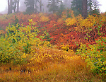 Mount Baker-Snoqualmie National Forest, WA <br /> Fog enshrouds the autumn colors of willows, huckleberries and grasses among the forest understory at Heather Meadows