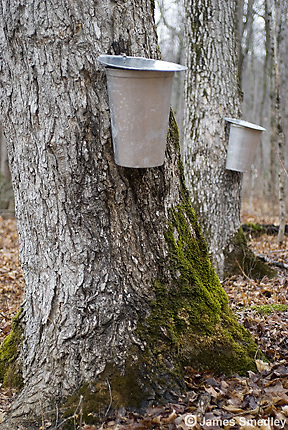 Sap buckets hanging on sugar maple trees