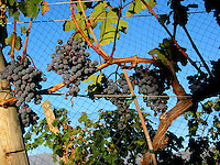 Pinot grapes grow on vines in the Lake Chelan Valley which received its AVA rating in 2010.