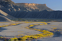 Pretty phacelia and yellow beeplant<br />