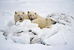 Three Polar Bears sit together behind a mound of ice and snow in Canada.