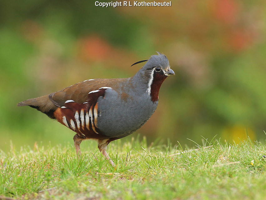 Adult mountain quail alertly walking through a grassy clearing in the foothills of the Olympic Mountains of Washington State.<br />