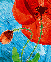 hand coloured pressed wild field poppy flower