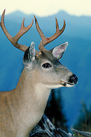 Columbian Blacktailed Deer, Olympic National Park, Washington