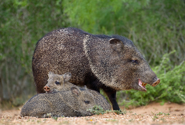 650520325 wild javelinas or collared peccaries dicolytes tajacu forage near a waterhole on santa clara ranch in starr county rio grande valley texas united states