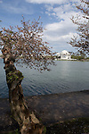 These mature cherry trees  were a gift of the Japanese to the American people.