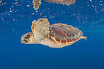 A Loggerhead Sea Turtle Hatchling, Caretta caretta, drifts in the open ocean offshore Pico Island, Azores, Portugal, North Atlantic Ocean.
