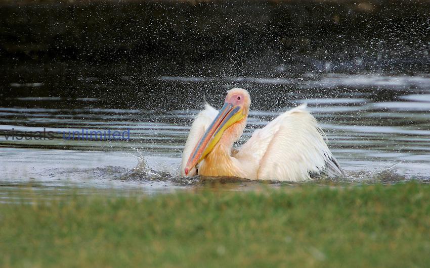 Great White Pelican bathing, Lake Nakuru, Kenya.
