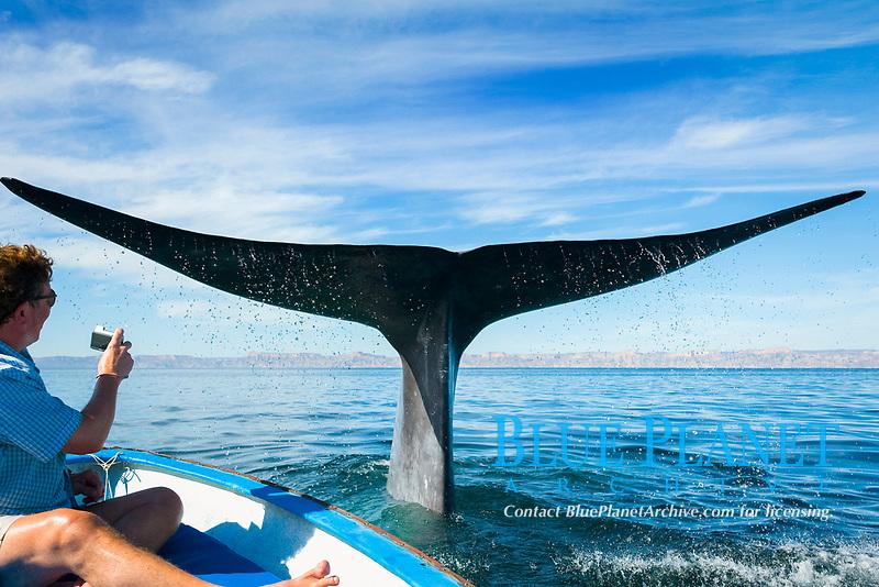 Blue whale (balaenoptera musculus) A blue whale beside a tourist boat. Gulf of California., Baja California, Mexico, Pacific Ocean