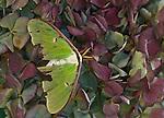 Tattered luna moth in hydrangea