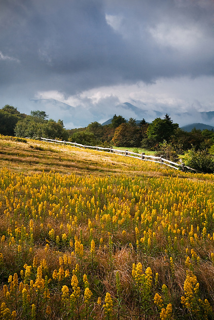 Roan Mountain Goldenrod (Solidago roanensis) and storm