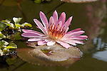 Close-up of a pink colored water lily in full bloom.