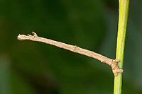 Nachtschwalbenschwanz, Nacht-Schwalbenschwanz, Holunderspanner, Raupe frisst an Efeu, Ourapteryx sambucaria, Tarnung, Mimese, Tarntracht, Verbergetracht, Raupe ähnelt einem Ästchen, Astmimese, Ästchenmimese, Ast-Mimese, Mimese, swallow-tailed moth, Camouflage, mimesis, La Phalène du sureau, Ourapteryx sambucaria, Phalène soufrée, Spanner, Geometridae, looper, loopers, geometer moths, geometer moth, Spannerraupe