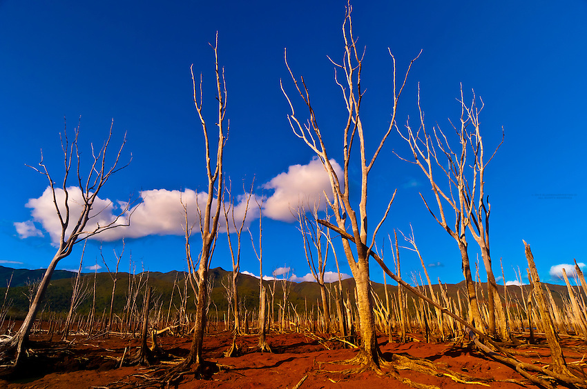The Drowned Forest (Foret Noyee), Parc de la Riviere-Bleue (Blue River Provincial Park), Grande Terre, New Caledonia