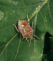 Sloe Shield Bug - Dolycoris baccarum
