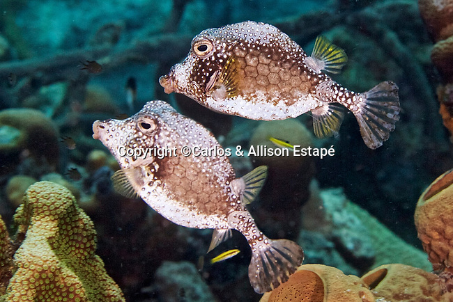 Lactophrys triqueter, Smooth trunkfish, Bonaire