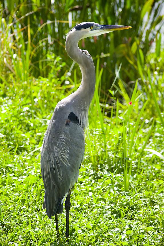 Great blue heron, Morton Lake, Lakeland, Florida