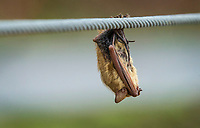 A bat sleeps on the railing of a boardwalk Wednesday, March 18, 2020, at Lake Atalanta Park in Rogers. Check out nwaonline.com/200319Daily/ for today's photo gallery.<br /> (NWA Democrat-Gazette/Ben Goff)