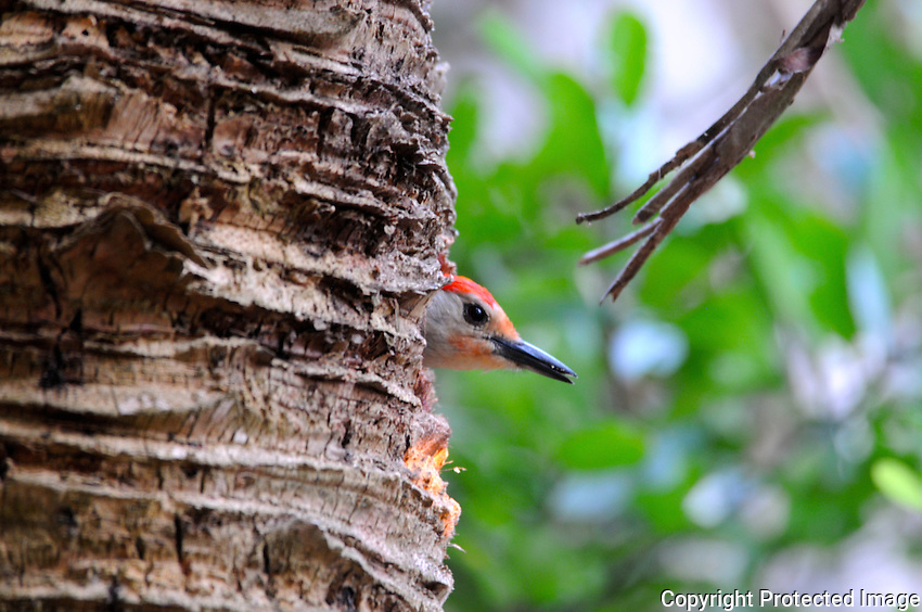 "Red Bellied Woodpecker ""peeking out"" from recently excavated home in a palm tree. Photographed at Green Cay Wetlands, Boynton Beach, Florida."