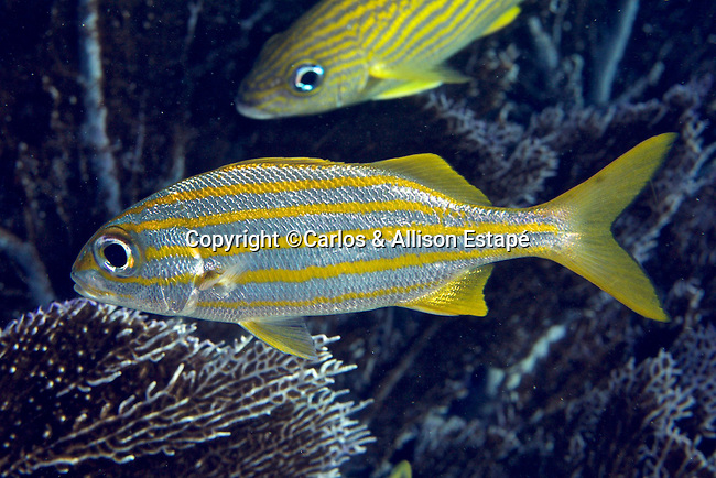Haemulon chrysargyreum, Smallmouth grunt, Florida Keys