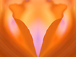 close-up of an orange gladiola flower