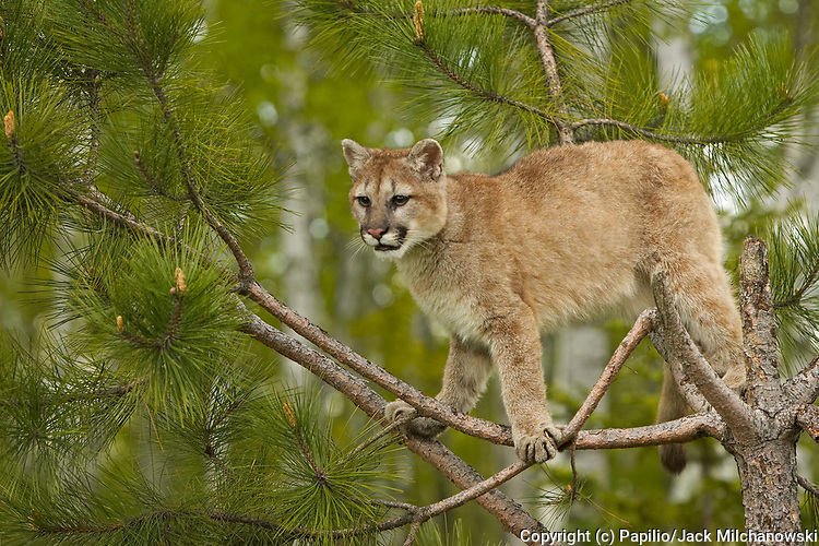 Mountain Lion or Cougar (Felis concolor), climbing in tree, Kettle River, Minnesota, USA, captive, animal cougar innocence juvenile mammal mountain-lion naivet? natural natural-world nature panther untamed wild wildlife young