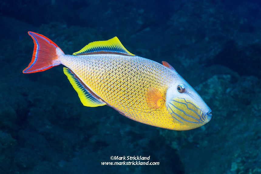 Male Red-Tail Triggerfish, Xanthichthys mento, San Benedicto Island, Revillagigedos Archipelago, Mexico, Pacific Ocean