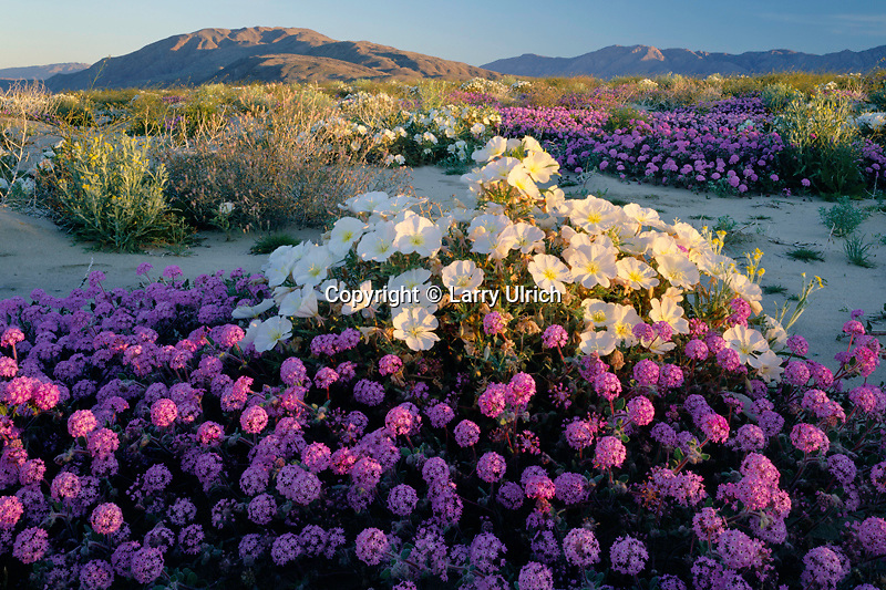 Dune evening primrose and desert sand verbena<br /> Borreg o Valley and Coyote Mountain <br />   in Anza-Borrego Desert State Park<br /> Sonoran Desert,  San Diego County,  California