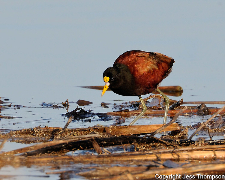 Northern Jacana, Choke Canyon State Park