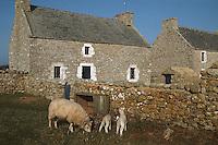 Europe/France/Bretagne/29/Finistère/Ile d'Ouessant: Ecomusée de NIOU: maison des techniques ouessantines, détails fenêtre et moutons ouessantins