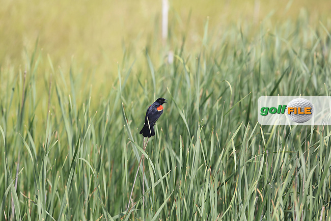 Birdlife during Wednesday's Practice Day of the 117th U.S. Open Championship 2017 held at Erin Hills, Erin, Wisconsin, USA. 14th June 2017.<br /> Picture: Eoin Clarke | Golffile<br /> <br /> <br /> All photos usage must carry mandatory copyright credit (&copy; Golffile | Eoin Clarke)