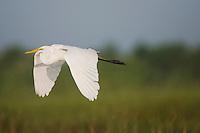 Great Egret (Ardea alba), Sinton, Corpus Christi, Coastal Bend, Texas, USA