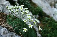 Blaugrüner Steinbrech, Bläulicher Steinbrech, Hechtblauer Steinbrech, Saxifraga caesia, Blue saxifrage, Grey saxifrage, Steinbrechgewächse, Saxifragaceae