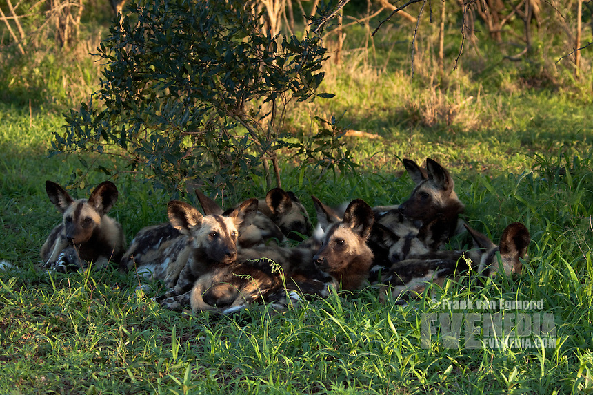African Wild Dogs (Lycaon pictus)...Pack resting. Endangered species...Hluhluwe Imfolozi Game Reserve..Kwazulu-Natal, South Africa..November 2010.