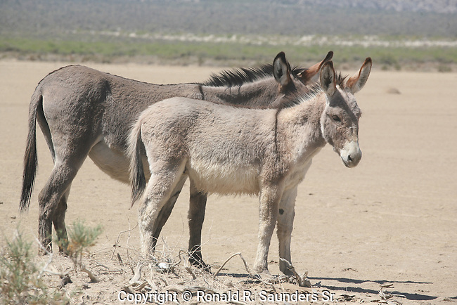 TWO DONKEYS in the DESERT.<br /> <br /> A mule is the offspring of a male donkey and a female horse.<br /> <br /> Donkeys are often called Asses.<br /> Horses and donkeys are different species, with different numbers of chromosomes.<br /> <br /> The donkey or ass, is a domesticated member of the Equidae or horse family. The wild ancestor of the donkey is the African wild ass, <br /> E.africanus. The donkey has been used as a working animal for at least 5000 years. There are more than 40 million donkeys in the world, mostly in underdeveloped countries, where they are used principally as draught or pack animals. Small numbers of donkeys are kept for breeding or as pets in developed countries<br /> (1)
