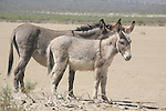 TWO DONKEYS in the DESERT.<br />