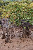 Mangrove, Nouvelle-Calédonie